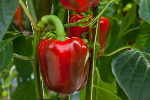 1533339355 green-pepper-wallpaper