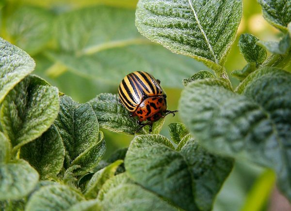 colorado-potato-beetle-582966 1280