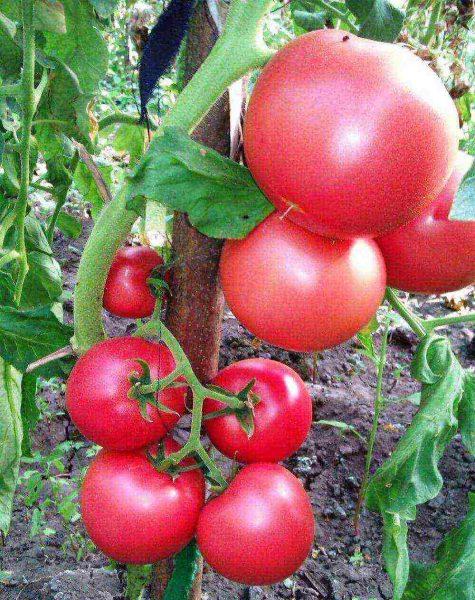 kakie-sorta-pomidorov-luchshe-vyraschivat-v-teplice-85