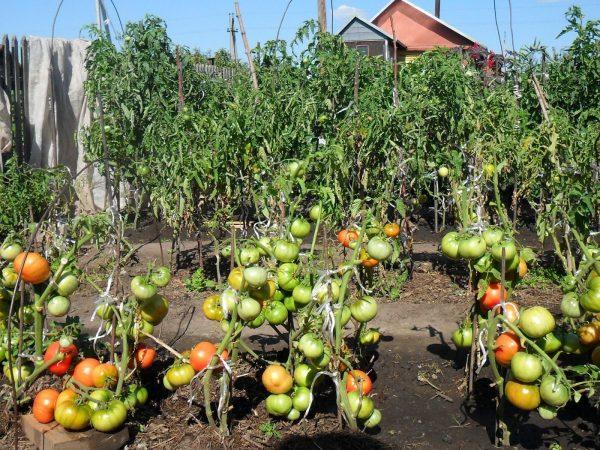 moi-pomidory-4