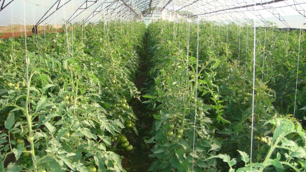 Выращивание помидоров. Как подвязать помидоры в открытом грунте?