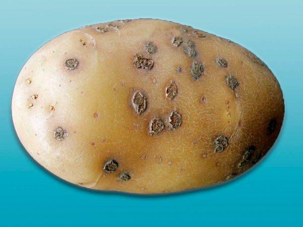 powdery-scab-on-potato-2