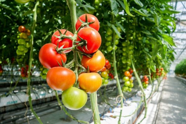 Картинки по запросу Как вырастить самые вкусные помидоры?