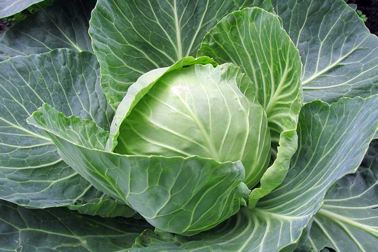 white-cabbage-big