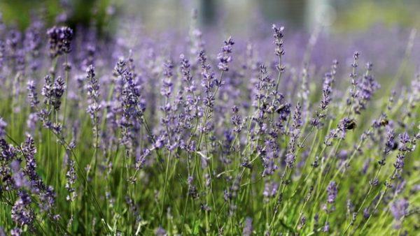 Lavender-1-640x360