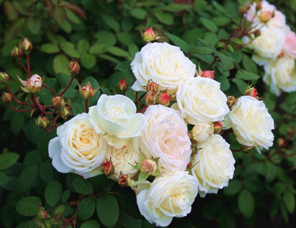 Nature Flowers Beautiful flowers shrub roses in the park 067033