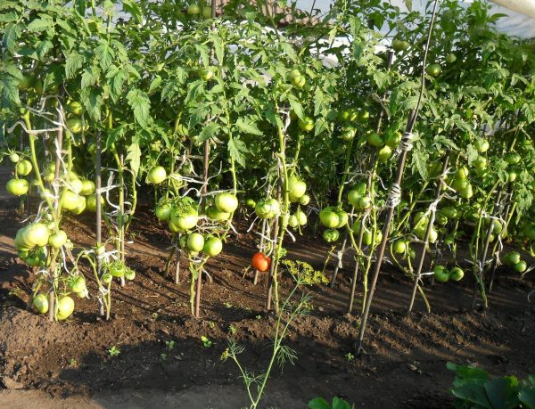 Rassadnye-pomidory