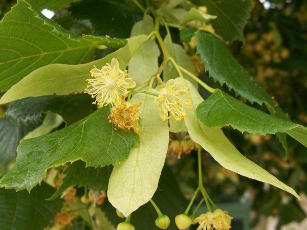 Tilia-flowers-6