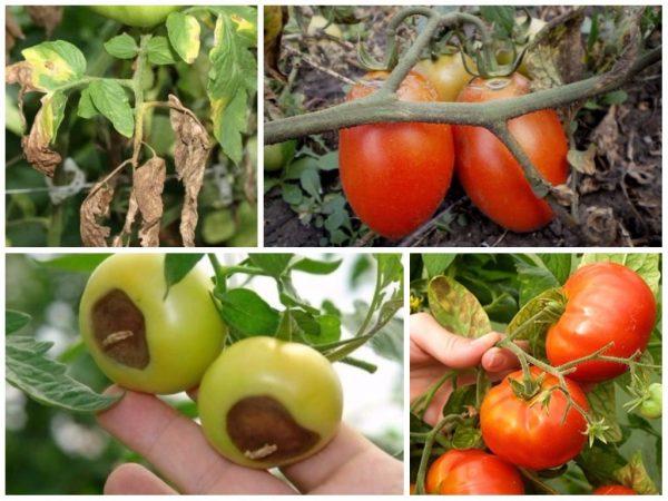 bolezni-pomidor-i-ih-lechenie