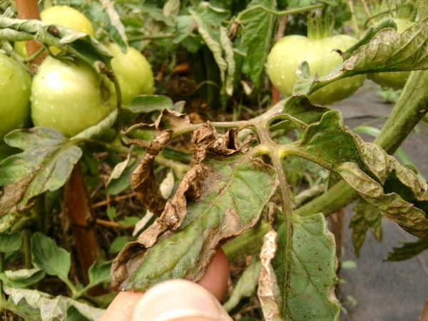 Картинки по запросу защита помидоров