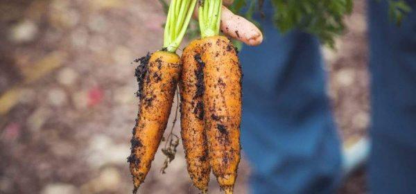 carrots-3655672 12801-900x420