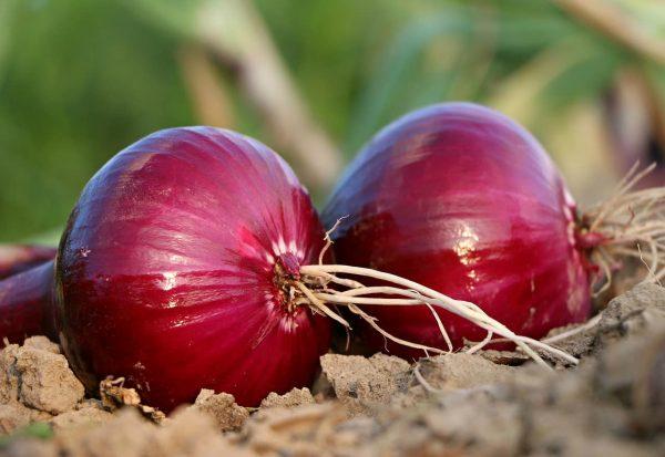 onion-1565604 1280