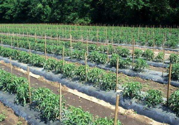 podkormka-tomatov-v-otkrytom-grunte-vesnoy