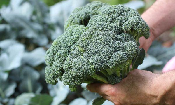 v-ogorode-v-iyule-uborka-brokkoli