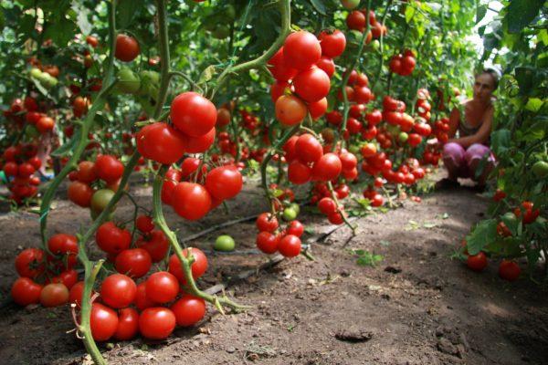 Все нюансы подкормки помидоров в теплице и открытом грунте