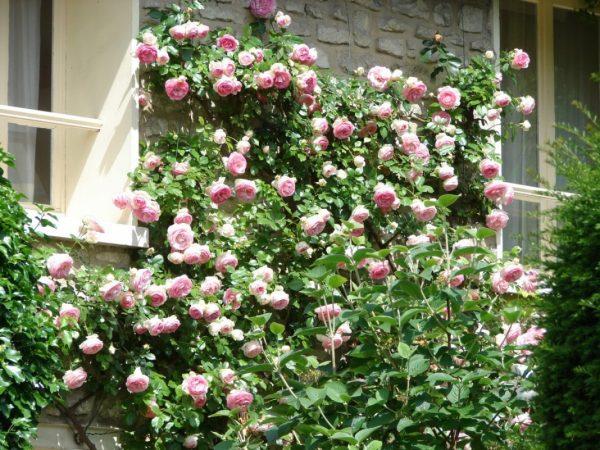 Climbing-Rose-2