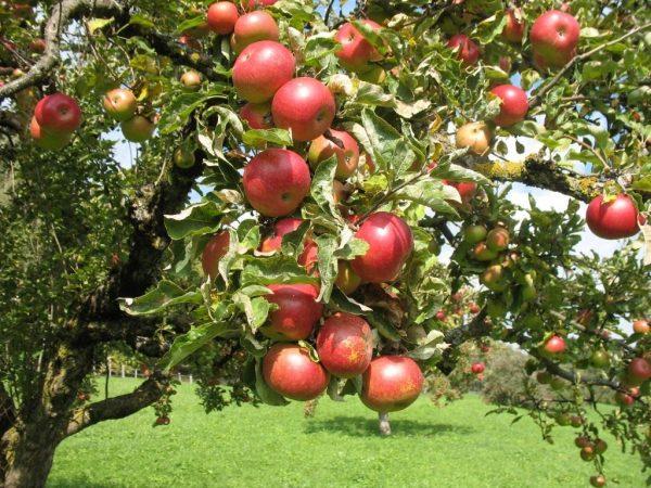apple-tree-3
