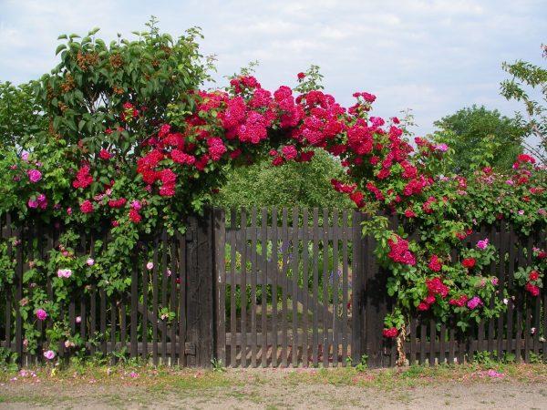 Картинки по запросу Уход за розами летом