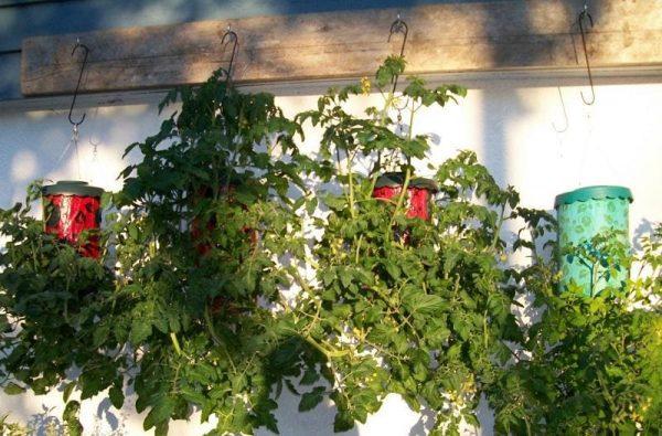 kak posadit pomidory vniz golovoy