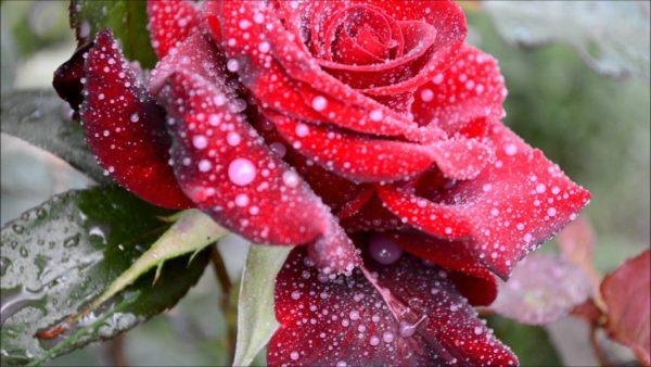 Картинки по запросу Домашнее средство от мучнистой росы на розах, ржавчины и пятнистости. Простая и