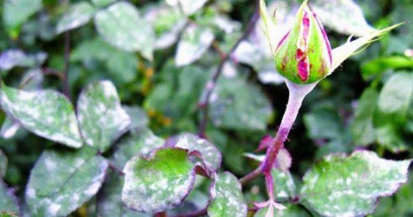 muchnistaya rosa na rozah mery borby