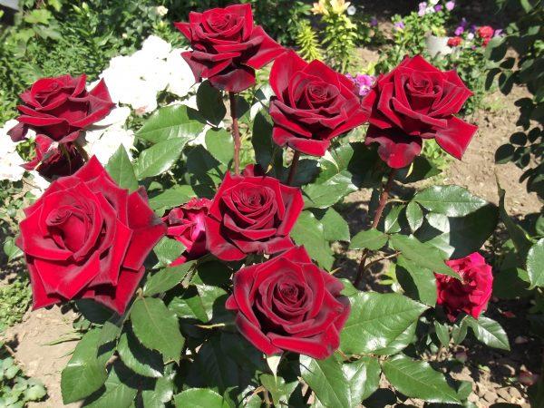 rosa-v-zvetu