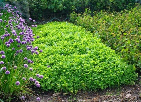 03-Green-manure-640x466
