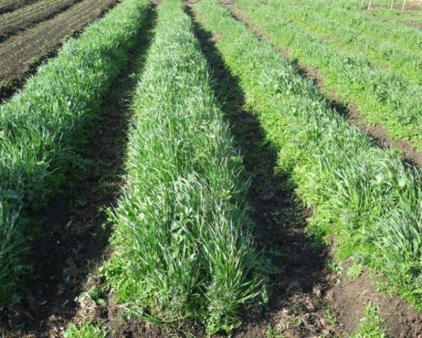 06-Green-manure-640x512