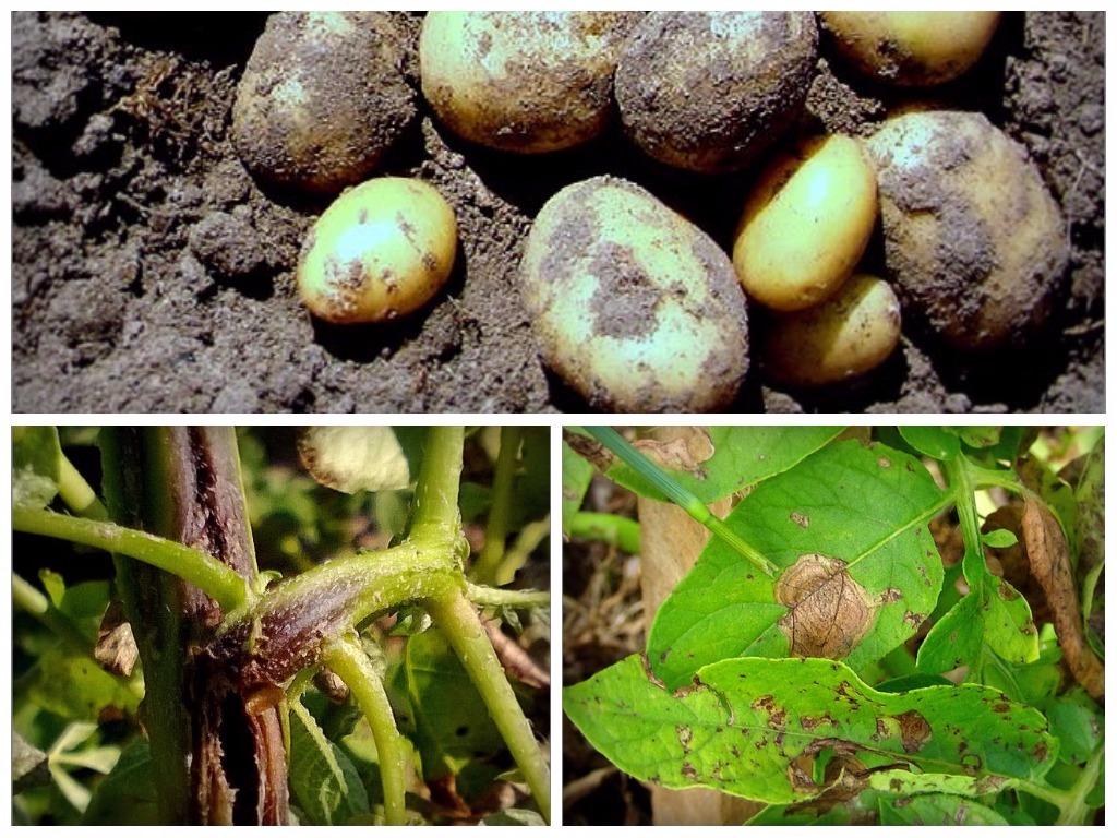 Картинки по запросу альтернариоз картофеля