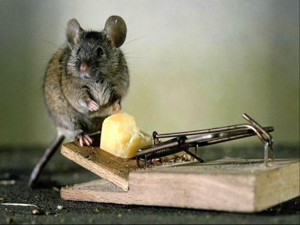 Народные средства от крыс и мышей в частном доме, все способы борьбы с помощью ловушек, отравления