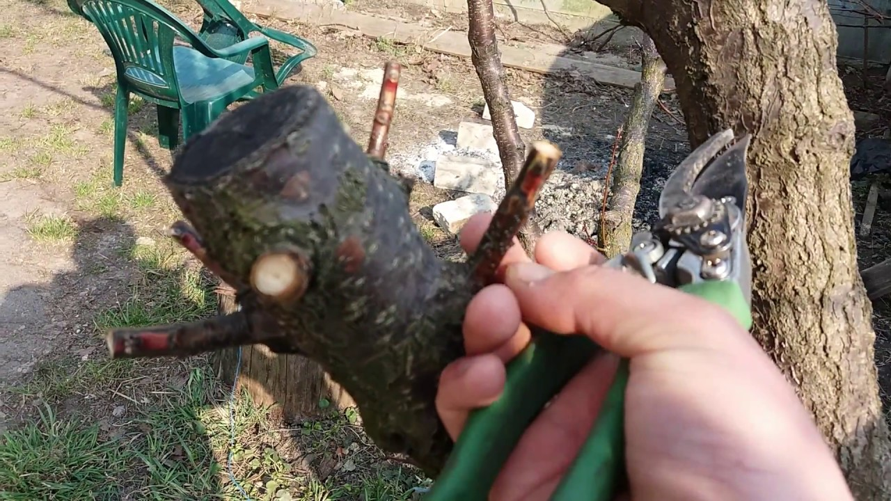 Картинки по запросу спилить старого дерева