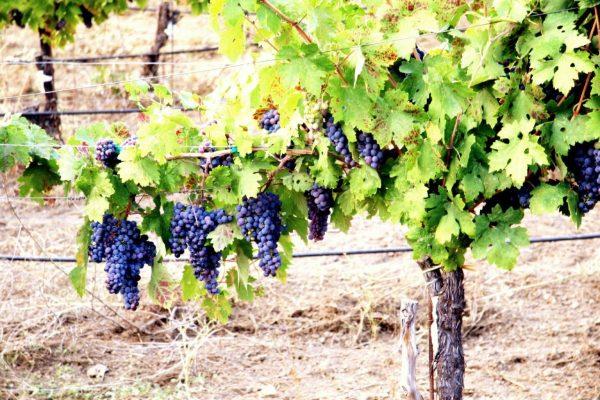 kak-nadezhno-ukryt-vinograd-na-zimu-v-podmoskove