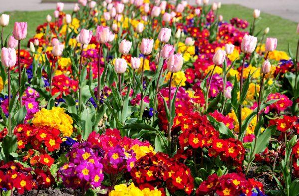 mnogoletnie-cvety-1
