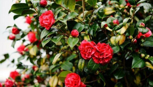 rozes-krums-ziedi-47707449
