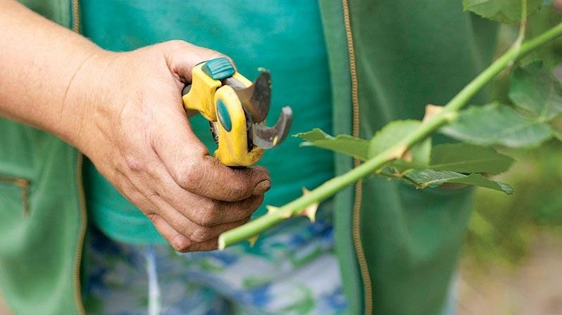 Картинки по запросу как сохранить черенки роз до весны