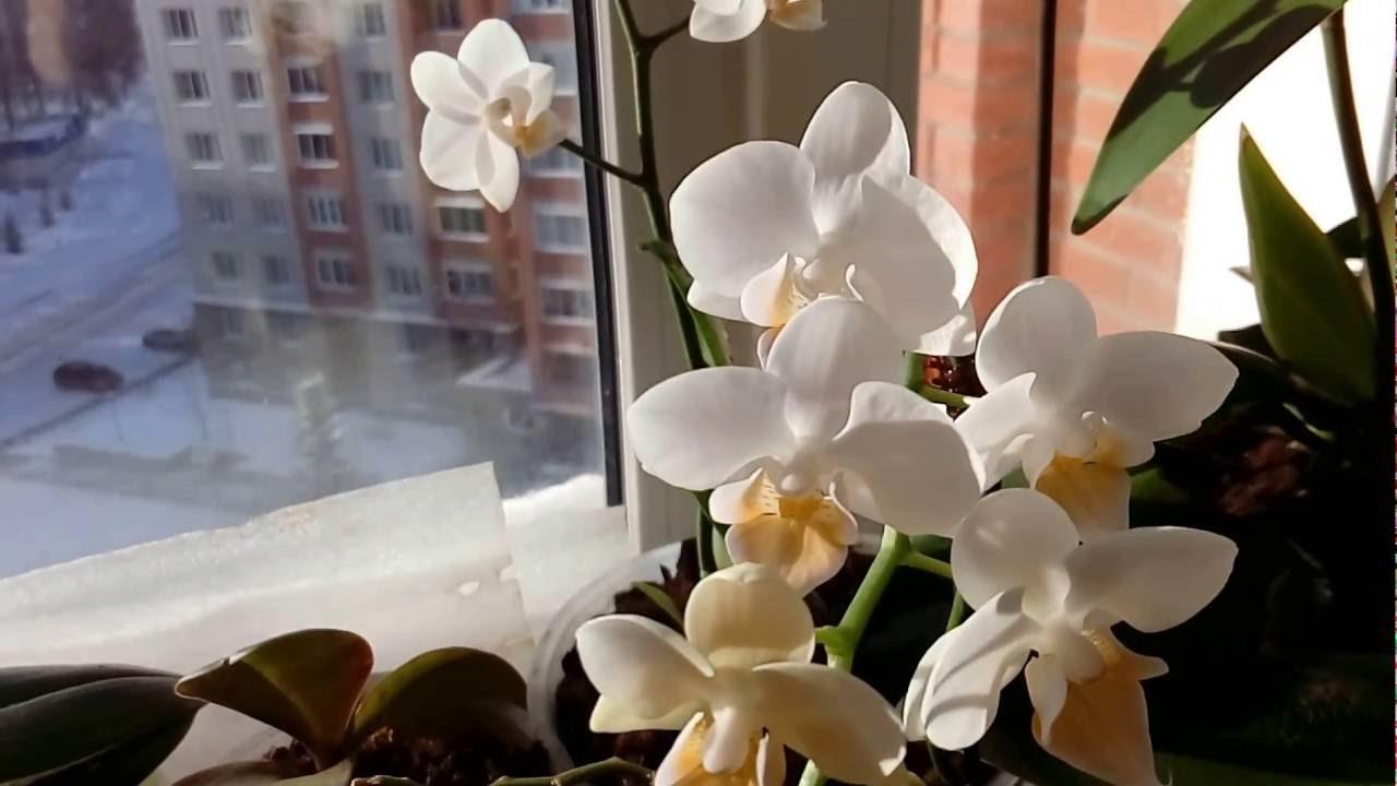 Картинки по запросу Липкие капли на орхидее: что это значит и почему они появляются