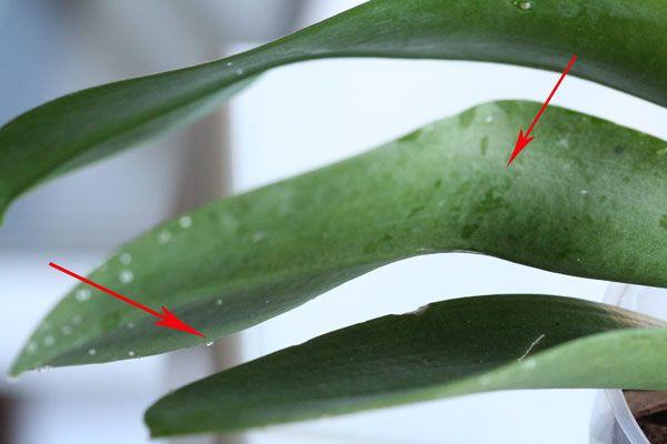 orhideya-lipkie-kapli 03