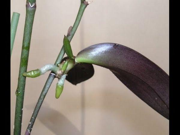 orhideya-lipkie-kapli 07