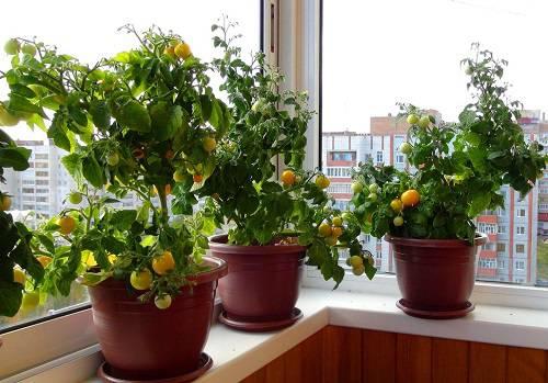 tomaty-na-balkone-1