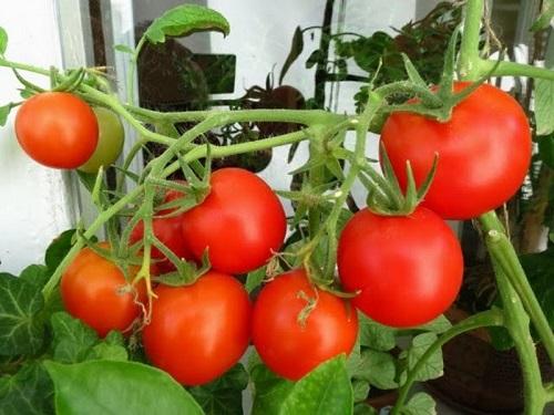 tomaty-na-balkone-2