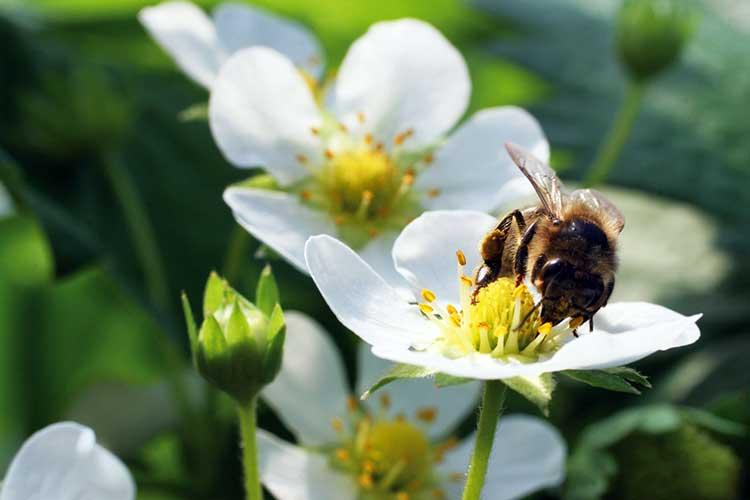 Bee-on-strawberry-flower