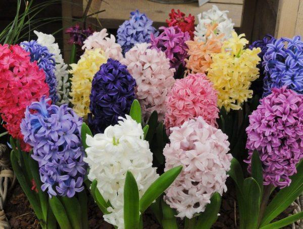 Hyacinthus-02