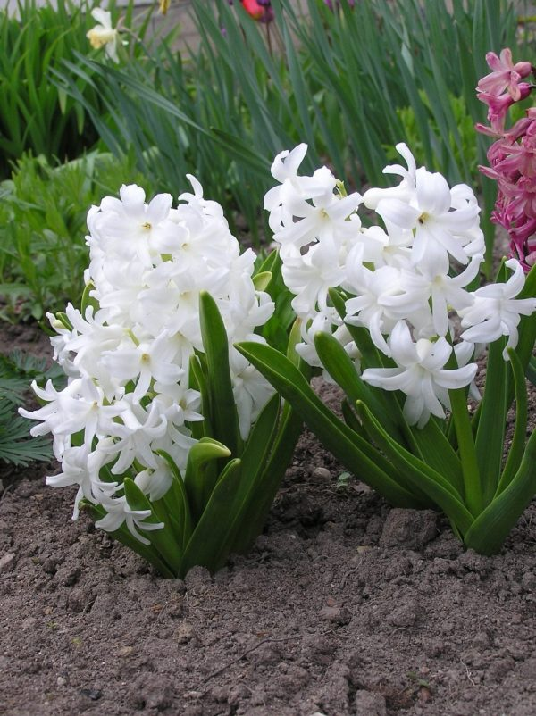 Hyacinthus-07