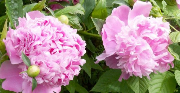 cvetka piona sladkiy aromat