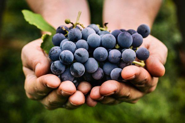 Хороший урожай винограда — стимул для садовода!  Как и когда заготавливать черенки винограда?