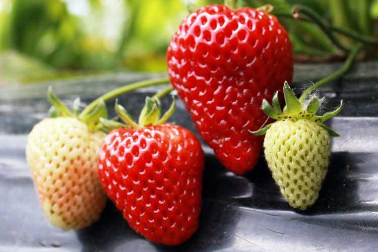 strawberries-fertilyze-berries