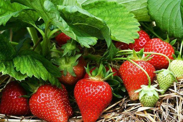 strawberries-fertilyze-big