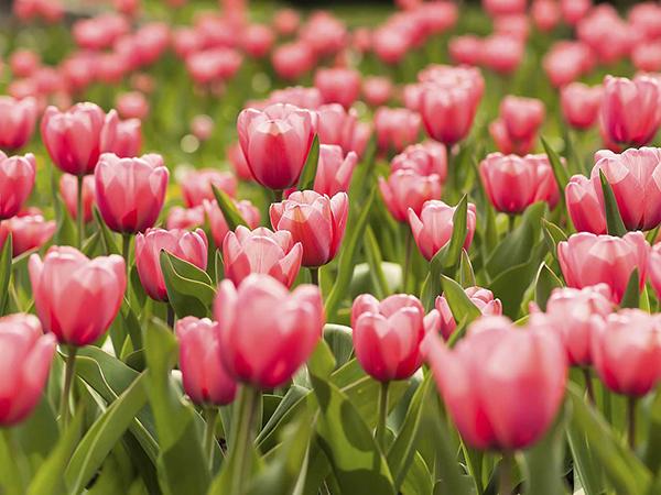 Как правильно осуществляется посадка тюльпанов весной: фото + видео