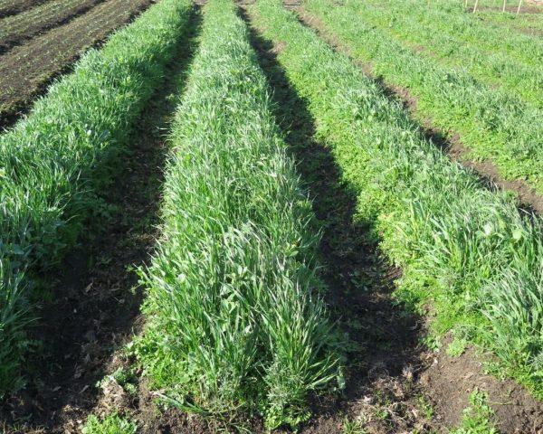 Какие сидераты лучше всего использовать на огороде и теплице весной?