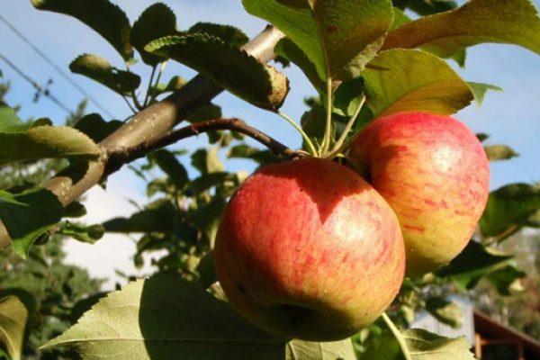 Обрезка плодоносящих яблонь и груш. Золотые правила обрезки деревьев весной
